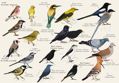 A small guide of the Common Birds of Almeida