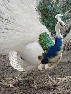 Half white peacock! They are so beautiful! I wonder if they occur naturally in the wild?