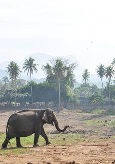 Sri Lanka Pinnawala Elephant Orphanage trip.