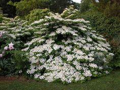 Kalina japońska WATANABE Viburnum plicatum Viburnum plicatum 'Nanum Semperflorens' - Internetowy sklep ogrodniczy