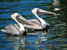 Beautiful eyed Brown Pelicans near Sebastian Inlet, FL.