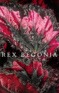 Rex Begonia  These plants are known for their showy, sometimes jaw-dropping leaf coloration. These plants are grown almost exclusively for their foliage—their blooms tend to be small and less showy, so many growers pinch off blooms to maintain breathtaking leaf displays.
