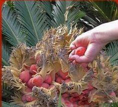 frete grátis 2.014 novas sementes, taxa alta de germinação 10 peças sago cycas sementes / cycas