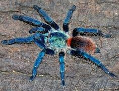 Breathtaking Poecilotheria Rajaei For Sale Ideas - Best Image Engine ...