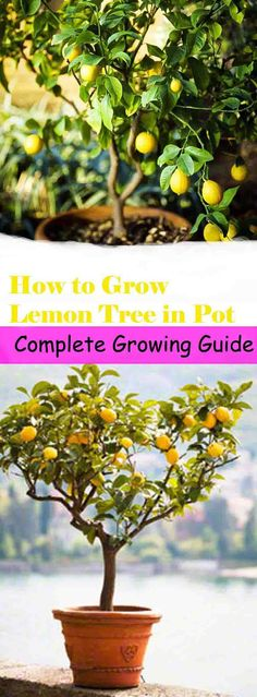 If you have a small garden or you live in a colder region, plant lemon tree in pot, learn how to grow & care for it. Read our complete lemon growing guide.