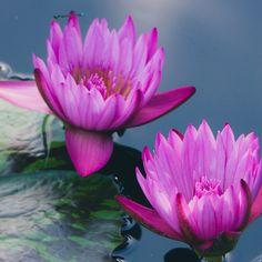 Purple Waterlily Duo Fine Art Photography