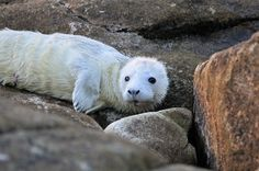Seal pup in the Isles of Scilly