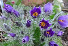 Stor kubjelle (Pulsatila vulgaris). Helt klart en vårfavoritt i hagen!!!