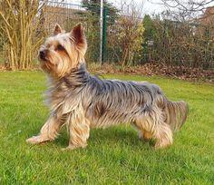 Yorkshire Terrier #yorkshireterrier