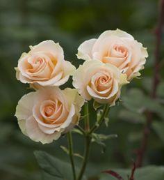 Girlie Folies Peach Spray Rose