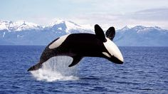 Leaping Killer Whale, British Columbis, Canada by age fotostock