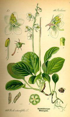 Pyrola rotundifolia / Otto Wilhelm Thomé, Flora von Deutschland Österreich und der Schweiz (1885)