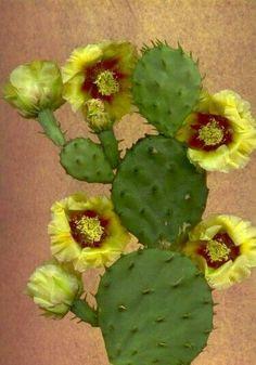 """flowersgardenlove: """" El Nopal (Cactus) In Full Bloom Beautiful gorgeous pretty Flowers """" Exotic Plants, Exotic Flowers, Beautiful Flowers, Beautiful Gorgeous, Cacti And Succulents, Planting Succulents, Planting Flowers, Desert Flowers, Desert Plants"""