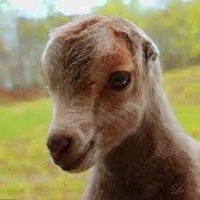 Lamancha Goats: A Quick Guide to Goat Breeds | GOATS | Pinterest ...
