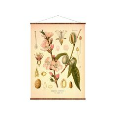 Sweet Almond Botanical Canvas 16x22 Amygdalus