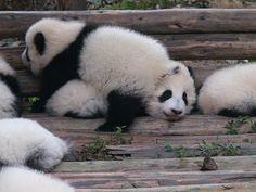Baby Panda :)