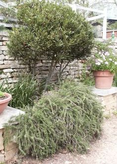 Rosemary: A Robust Herb of Winter. Learn everything you need to know here http://www.vegetablegardener.com/item/8032/rosemary-a-robust-herb-of-winter