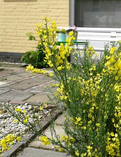 Cytisus allgold  (brem) plant it 2014 and he likes it here. #plants #garden #gardening