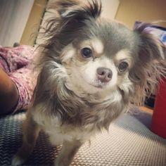 引っ越ししたお部屋にて꒰•‧̫•ू꒱ 今日も暑かったね💦 #犬#dog#チワワ#チワワ部 #イザベラ#イザベラタン#ロングコートチワワ#ろんちー #dogstagram #chihuahua #instadog#おとぼけくん #男の子#引っ越し#新しい部屋#newroom#大好き#家族の時間#愛犬#幸せな時間