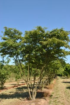 Carpinus japonica | Trees for roofs