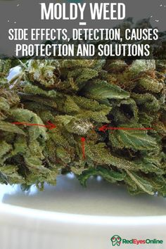 Moldy Weed – Side Effects, Detection, Causes, Protection and Solutions