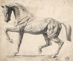 horse anatomy pictures - חיפוש ב-Google