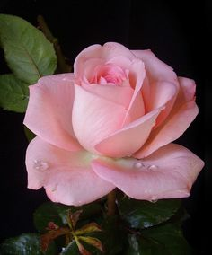 41064f34b Delicate Pink Rose | Living a Simple and Blessed Life Rose Pictures, Flower  Photos,