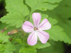 Geranium robertianum L. / Hierba de San Roberto.