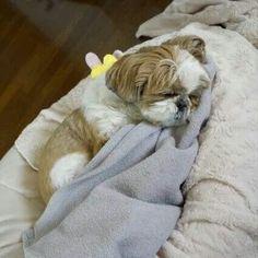 Sleepy shih tzu