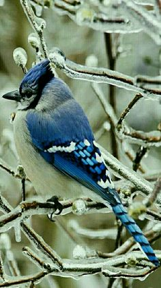 Blue Jay in a Winter Wonderland.