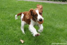 Our Welsh Springer at 14 weeks old - full of life and an absolute bundle of joy (if you can keep up). Welsh Springer Spaniel, Springer Spaniel Welpen, English Cocker Spaniel, English Springer, Cute Animal Pictures, Dog Pictures, I Love Dogs, Cute Dogs, Doggies