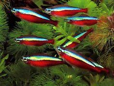 Images of Cardinal Tetra Fish - #rock-cafe