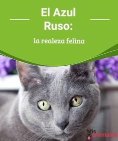 El Azul Ruso: la realeza felina -Mejor con Mascotas  ¿Conoces al gato de raza azul ruso? descubre a este fabuloso felino, uno de los más elegantes y bellos del mundo.