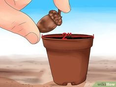 How to Grow an Oak Tree from an Acorn. It's hard to imagine that a mighty oak tree can come from a tiny acorn, but with enough patience, you can grow one yourself! Look for an acorn to plant in early autumn, germinate it, and start it in a. Bonsai Tree Care, Bonsai Tree Types, Bonsai Tree Price, Bonsai Tree Tattoos, Acorns Grow, Indoor Water Garden, Garden Fun, Acorn And Oak, Baobab Tree