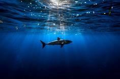 HD wallpaper: Shark atlantic ocean-Marine life HD Wallpaper, water, animals in the wild Underwater Wallpaper, Ocean Underwater, Hd Wallpaper, Live Wallpapers, Orcas, Black Photography, Wildlife Photography, Amazing Photography, Photography 101