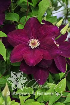 Clematis 'Mazowsze' VOLCANO