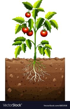 Tomatoes on the tree vector image on VectorStock