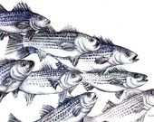 """Fish - Old School Striped Bass- Fish Art Print Original Drawing  8.5"""" x 11""""- Under the Sea- School of fish-  Men Decor... In the button house"""