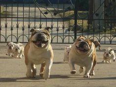 Bulldog stampede