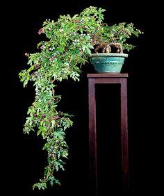 Unusual Bonsai in Cascade...