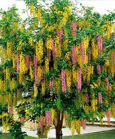 Tweekleurige regenboom | Bomen en heesters | Bakker Hillegom