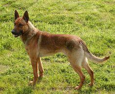 Belgian MalinoisChien de Berger Beige / Belgian Shepherd Dog Malinois