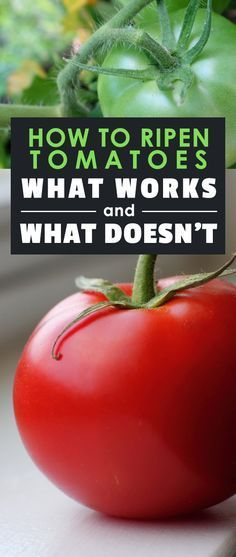 Knowing how to ripen tomatoes properly is key to getting the most of your harvest of these extremely popular garden veggies.
