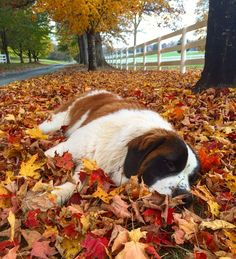 Saint Bernard puppy taking a fall nap. Snout in the leaves. Chien Saint Bernard, St Bernard Puppy, Cute Puppies, Cute Dogs, Dogs And Puppies, Doggies, Yorkie Dogs, Teacup Chihuahua, Corgi Puppies