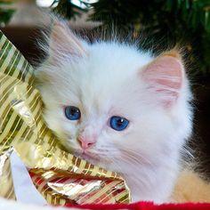 Flame Point Ragdoll kitten #kitten #alpha #sony #a700 #animal #ragdoll #ragdollcat #floppycat #pet #cat #feline #blueeyes #ragdollkitten #christmas #wrappingpaper