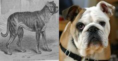 1. Boxers were bred from a now extinct dog breed named Bullenbeisser (once existed in Germany) and English Bulldogs.