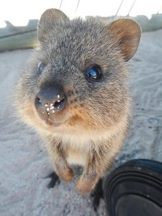 Quokka Sleeping | Quokka Smiling Photo: smiling quokka (fin