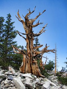 3,000 years old. Bristlecone Trail, Great Basin National Park, Nevada, US