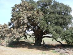 The Highland Springs Oak in Cherry Valley, California. Submitted by Jack Prewett of Touchstone Local Council