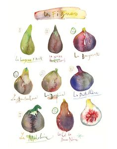 Fig varieties 11X14 Kitchen decor Poster Food art Fruit Illustration Figs print Botanical French handwritting purple Watercolor painting
